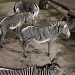 Zebra2